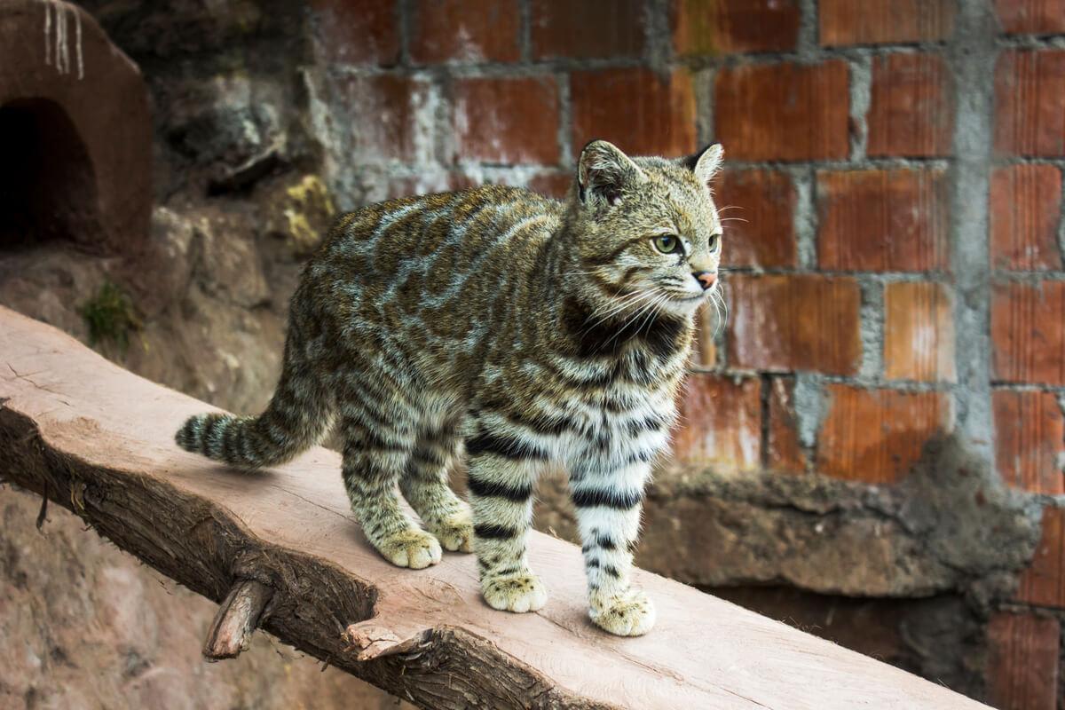 Un gato andino haciendo equilibrios.