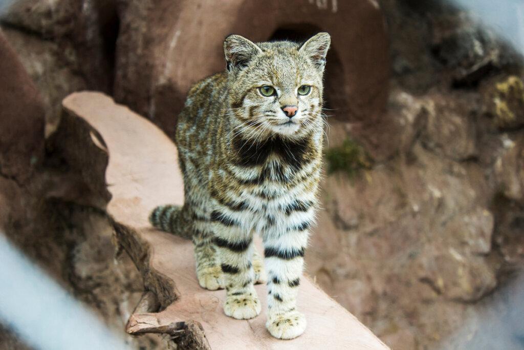 El gato andino: un felino en grave peligro