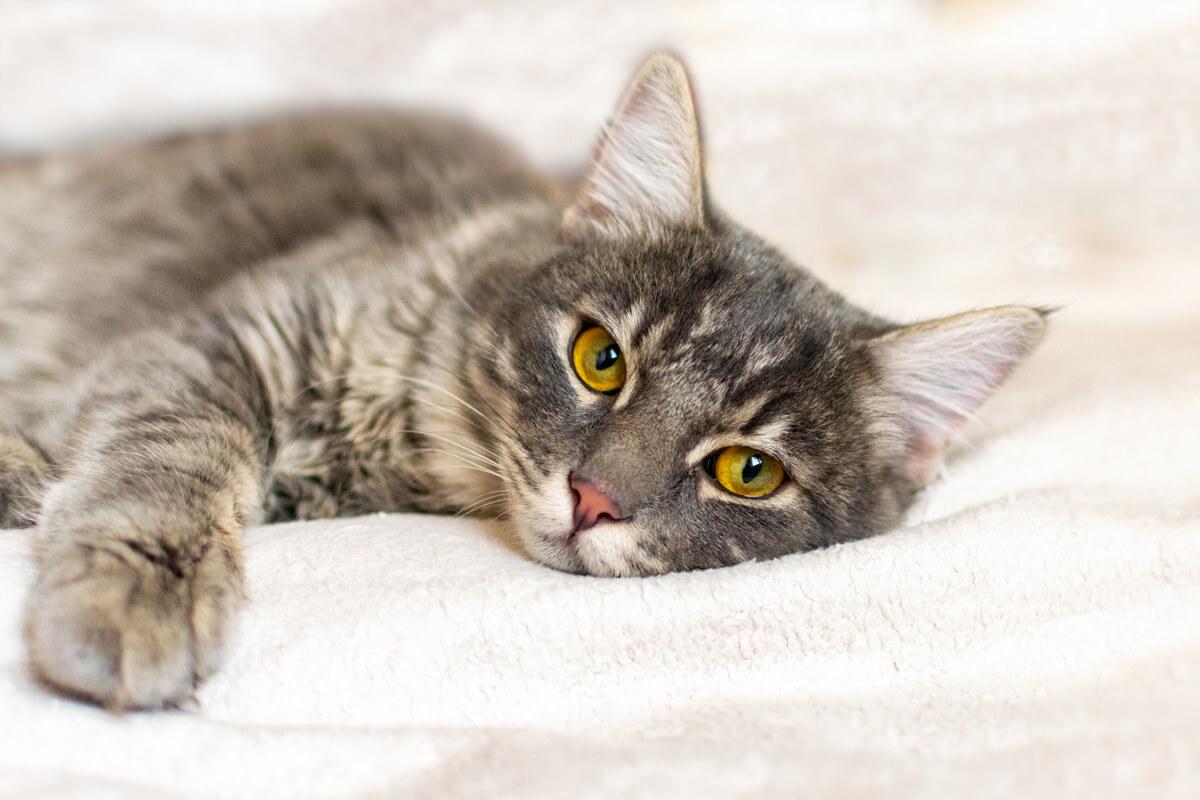 Un gato triste mira a una cámara.
