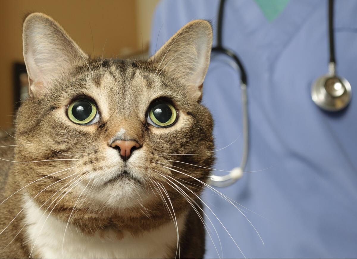 Un gato asustado en el veterinario.