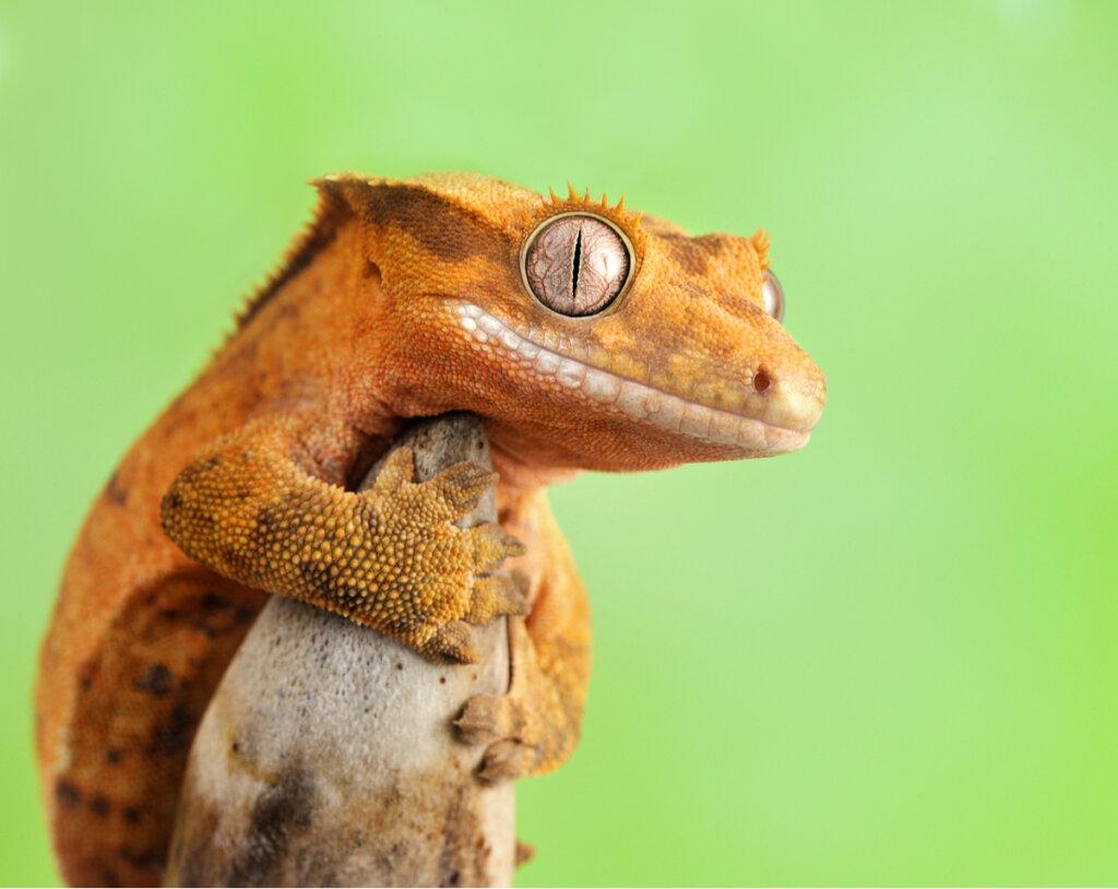 Gecko crestado: cuidados y características