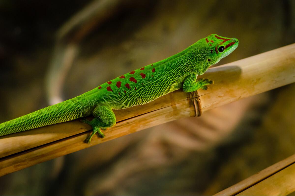 Un gecko diurno sobre una rama.