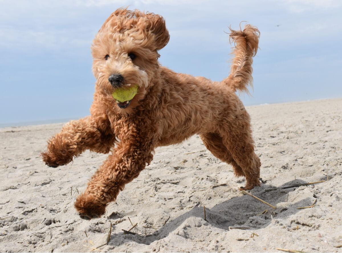 Un goldendoodle corre en la playa.