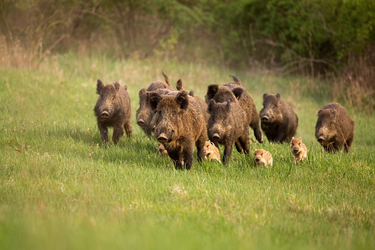 Un grupo de jabalíes corriendo.