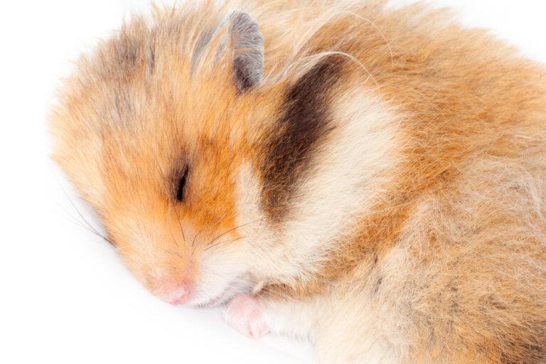 ¿Los hámsteres hibernan?
