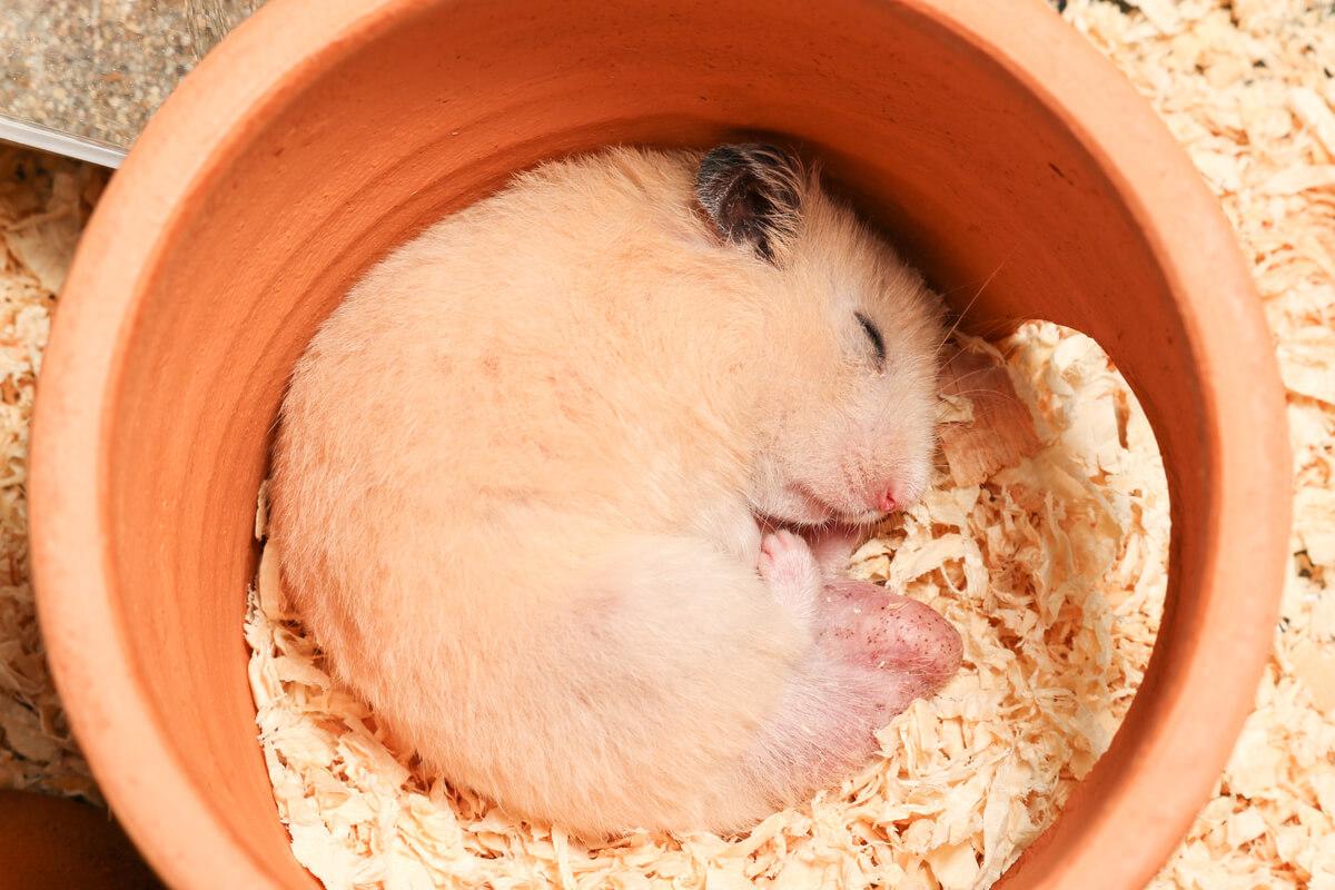 Los hámsteres pueden llegar a hibernar.