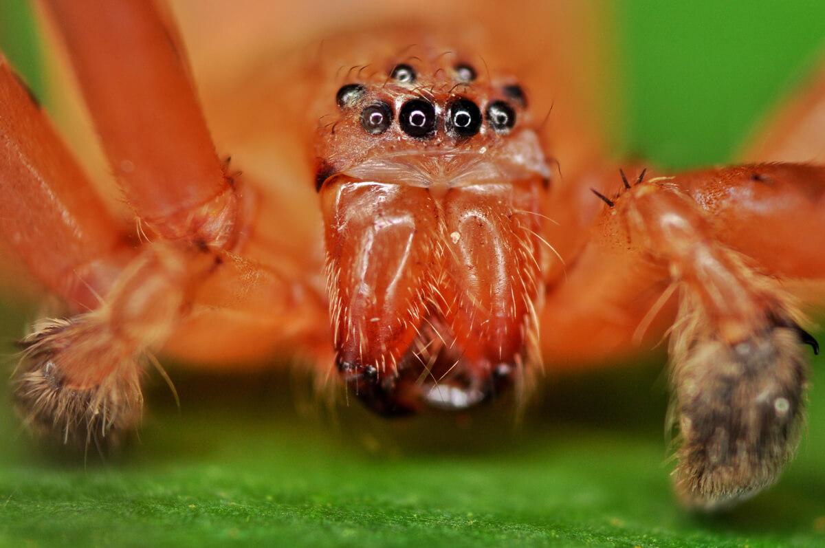 La cabeza de una Heteropoda davidbowie.