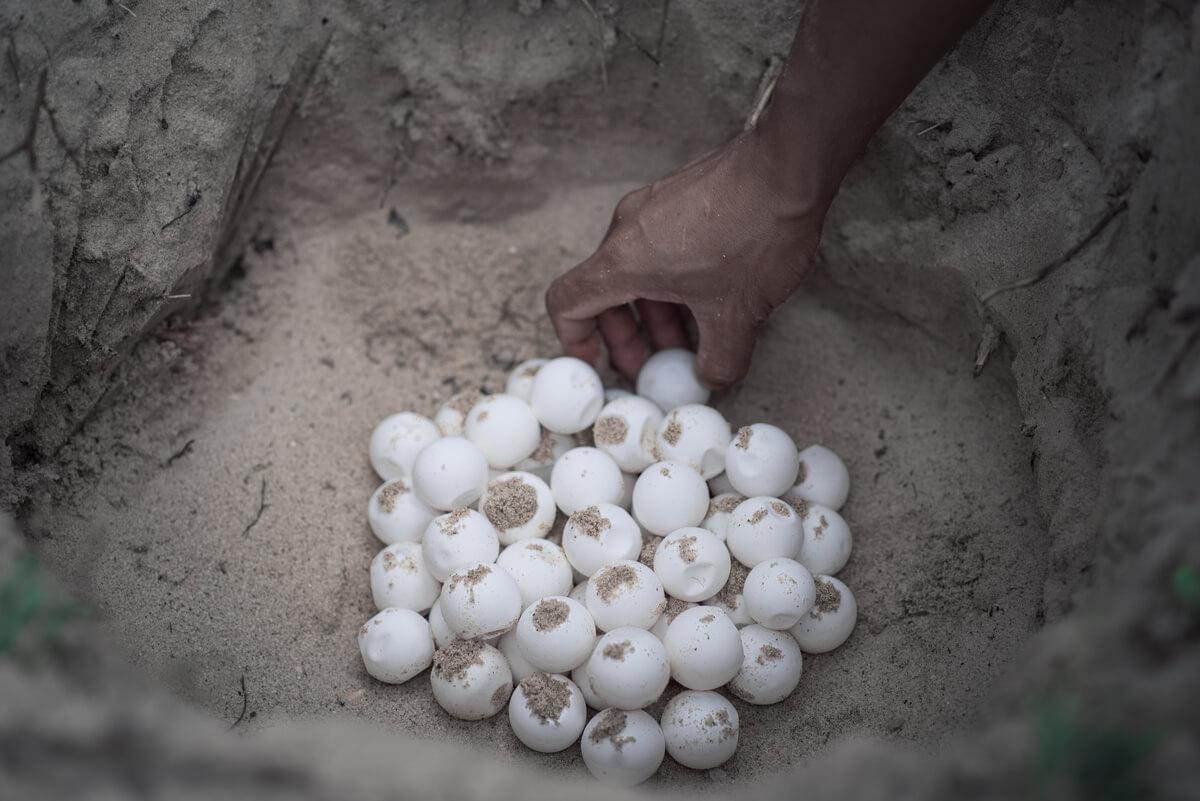 Huevos de tortuga marina enterrados.