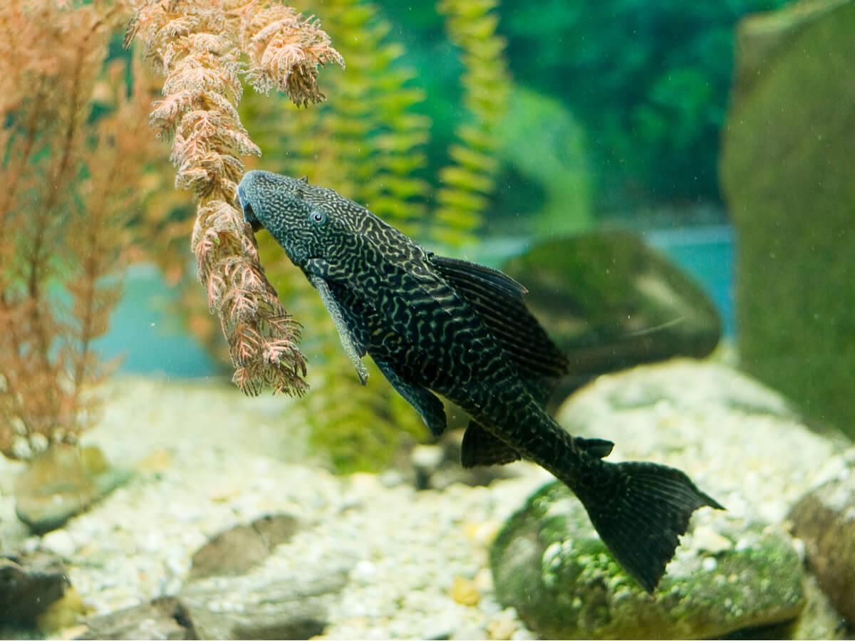 El pleco es uno de los peces limpiadores para tu acuario.