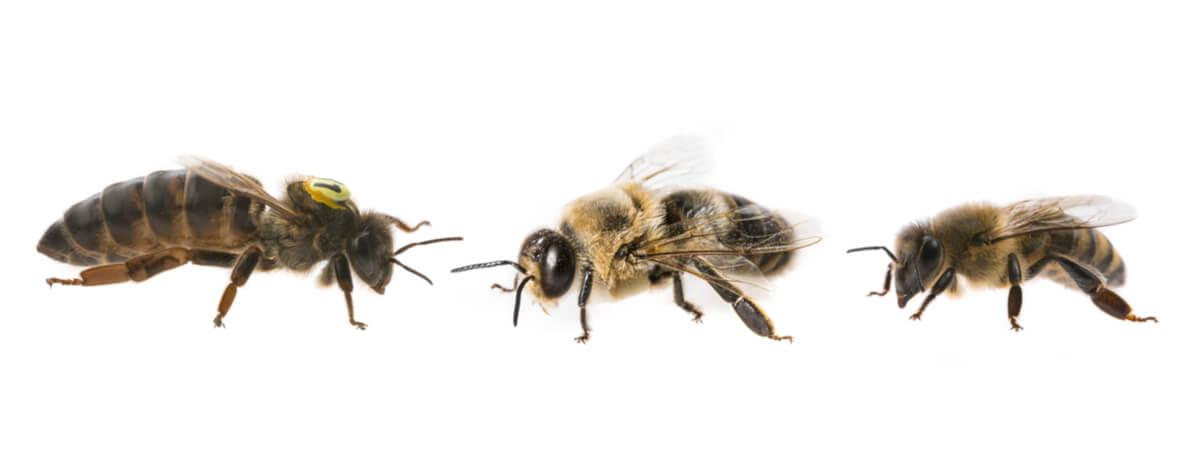 La jerarquía de las abejas.