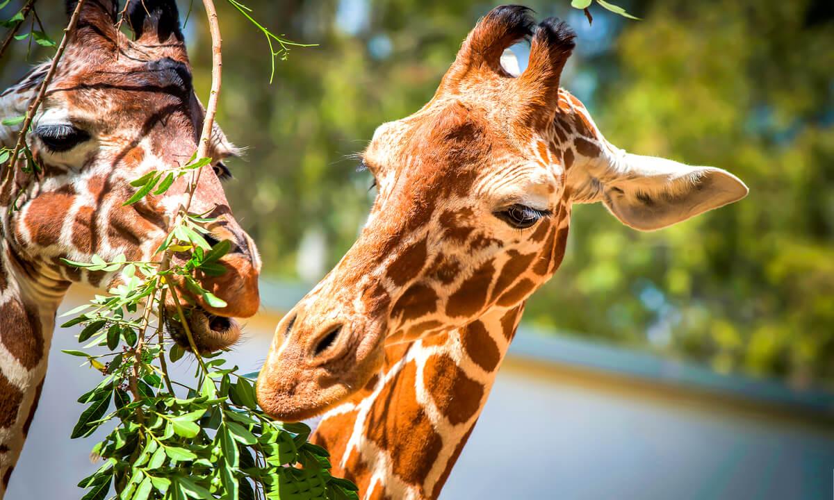 Girafes et théorie de la recherche de nourriture optimale.