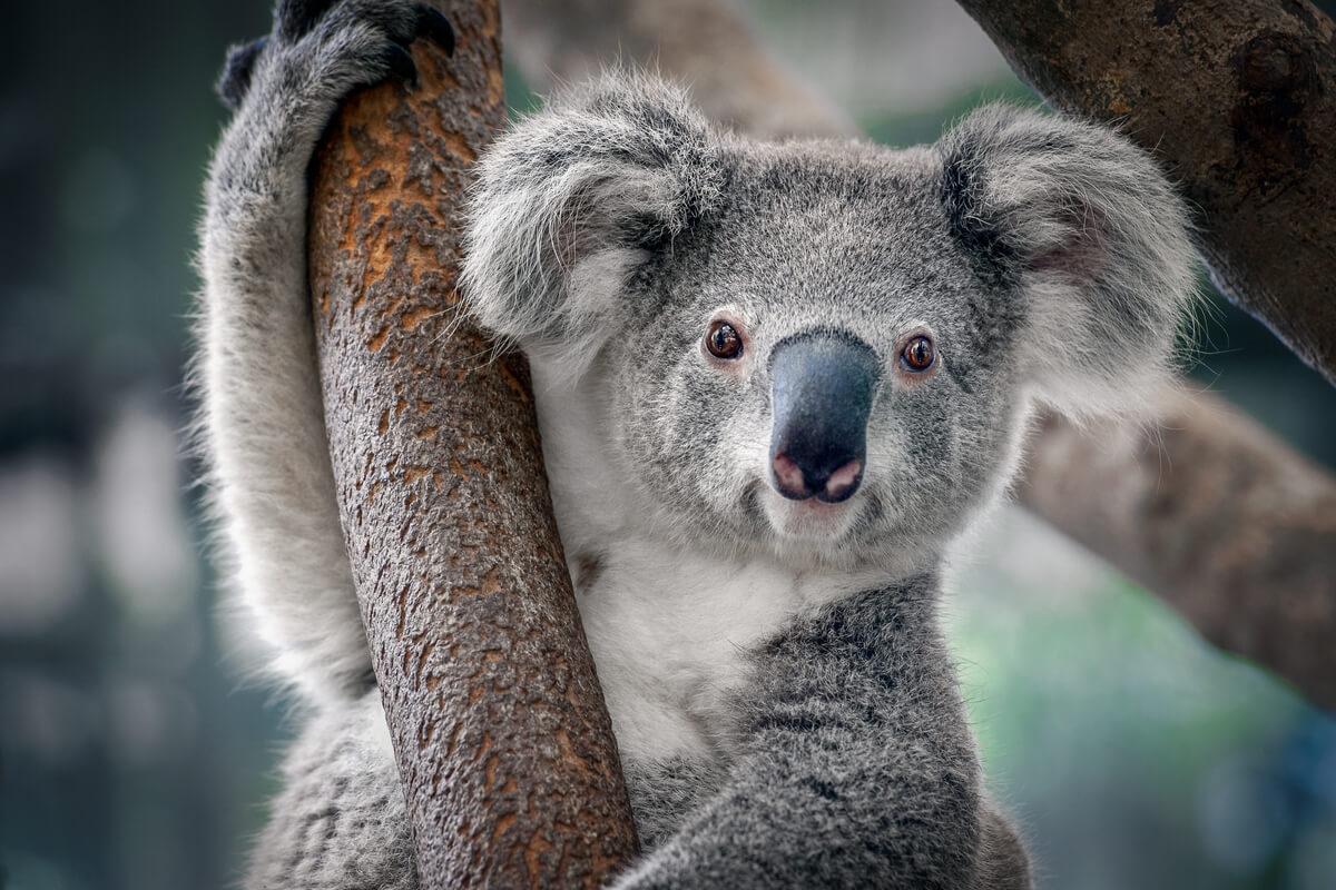 El koala es una especie en peligro de extinción.