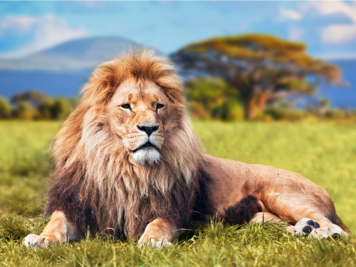 El león es uno de los mamíferos más rápidos del mundo.