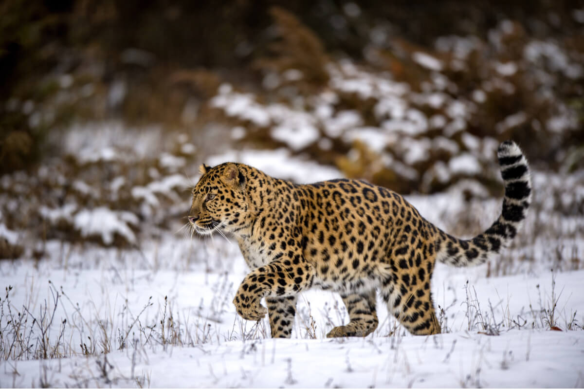 El leopardo de amur es otro de los animales en peligro crítico de extinción.