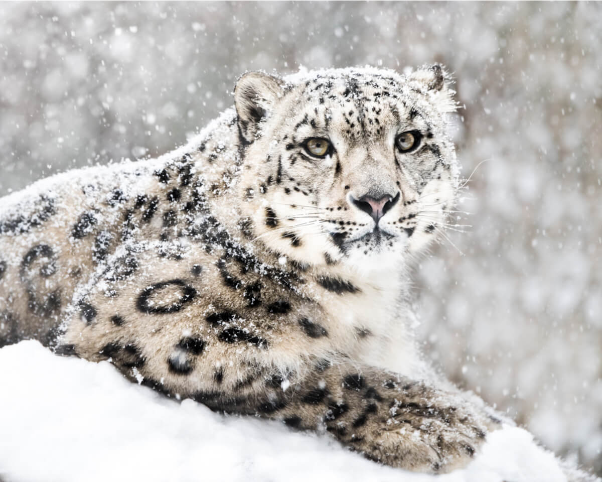 Conservación del leopardo de las nieves.