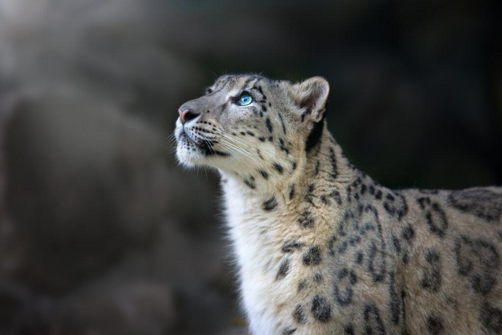 Los esfuerzos de conservación del leopardo de las nieves