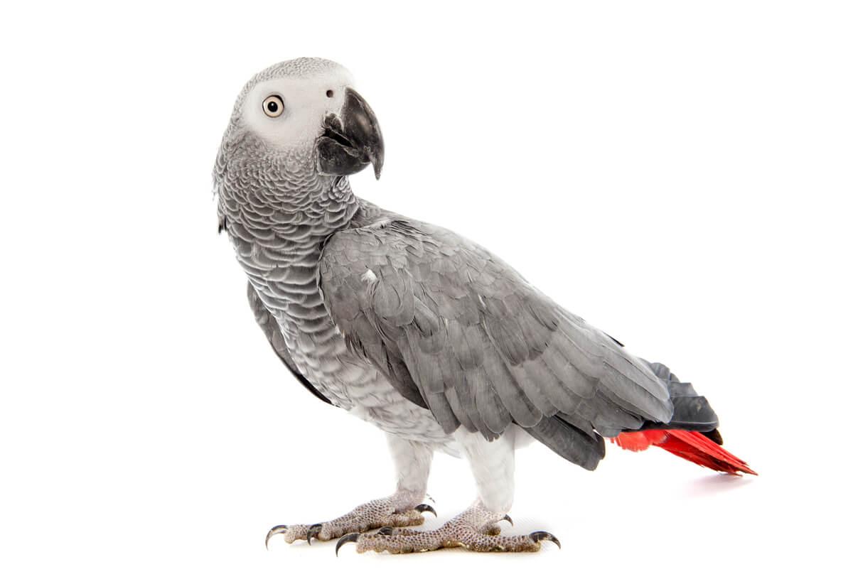 Una de las aves domésticas en peligro de extinción.