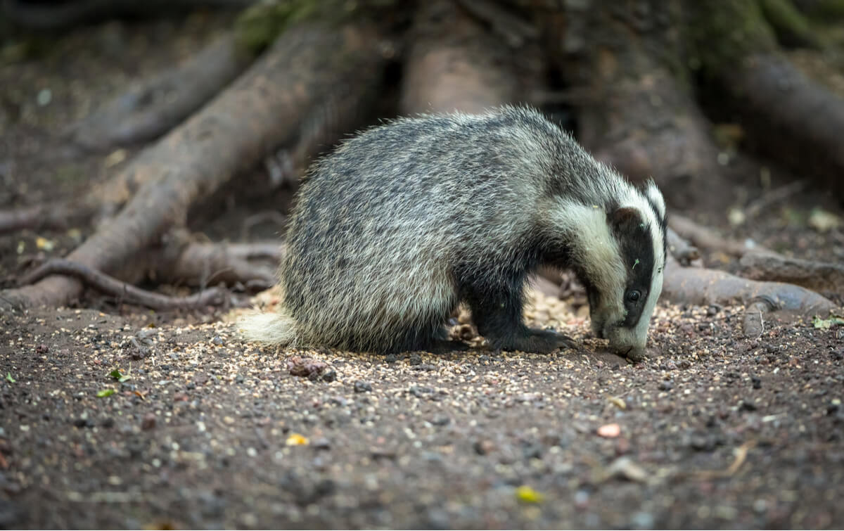 Un mamífero que forrajea en el suelo.
