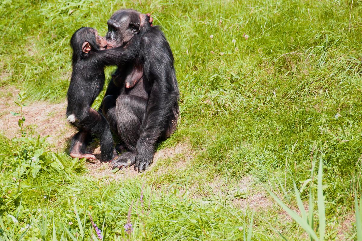 Un beso entre un chimpancé y su hijo.