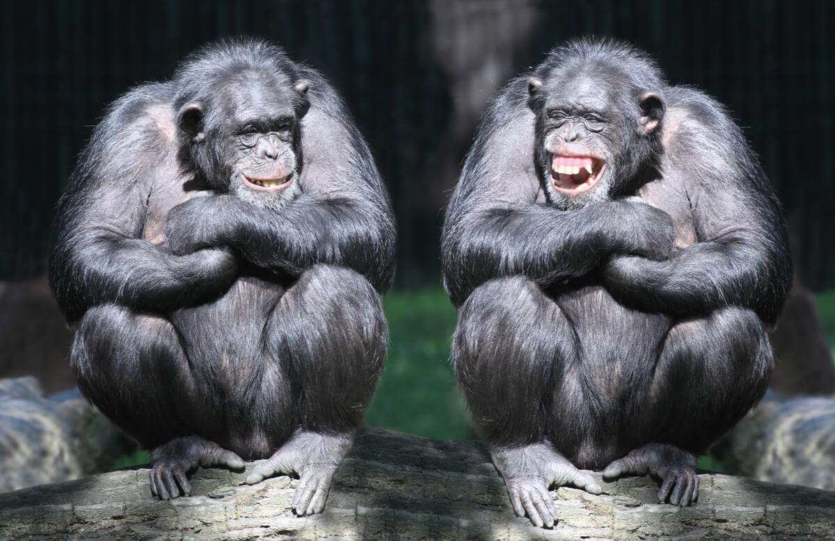 Dos monos riéndose sentados.