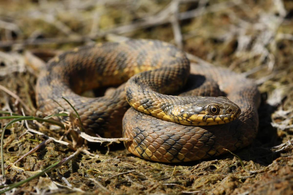 La Natrix maura es una de las serpientes no venenosas.