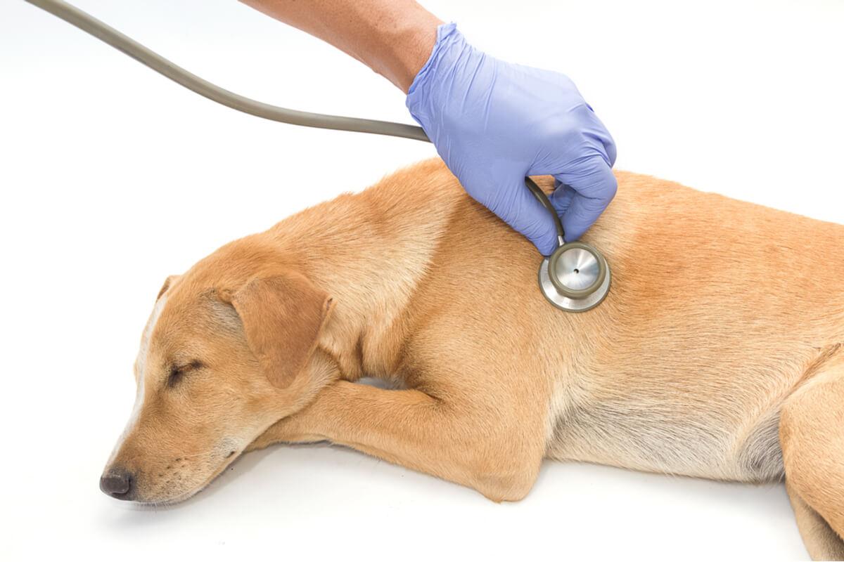Un perro con neumonía.