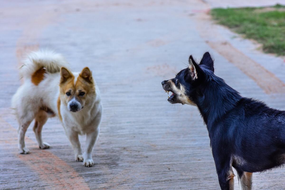 Un perro agresivo que ladra a otro perro.