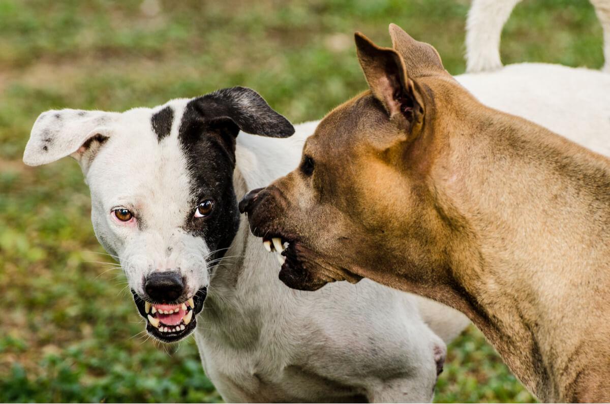 Un perro agresivo con otro perro.