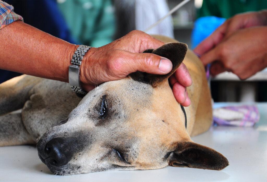 ¿Es peligrosa la anestesia en perros?