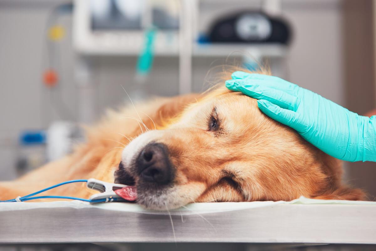 Un perro anestesiado.