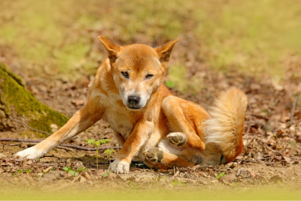 El perro cantor de Nueva Guinea no se ha extinguido