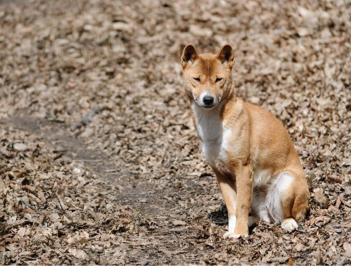 Un perro cantor sentado.