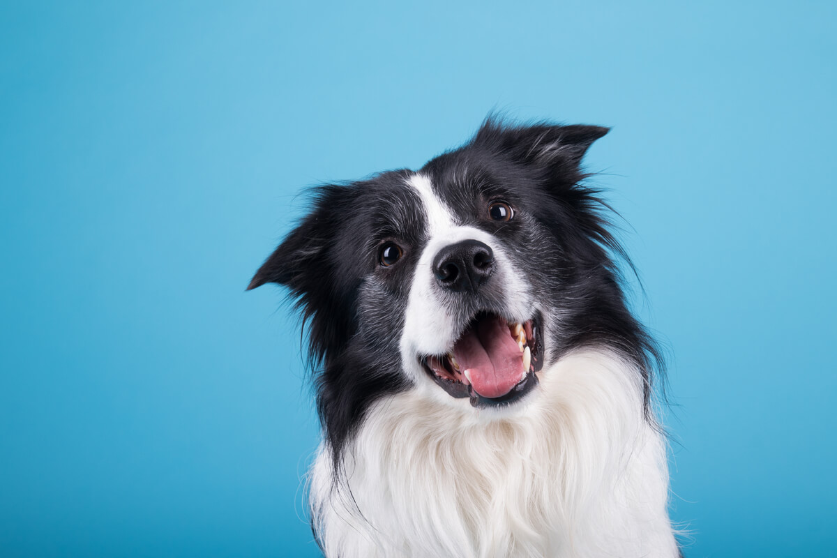 Un perro contento sobre un fondo azul.