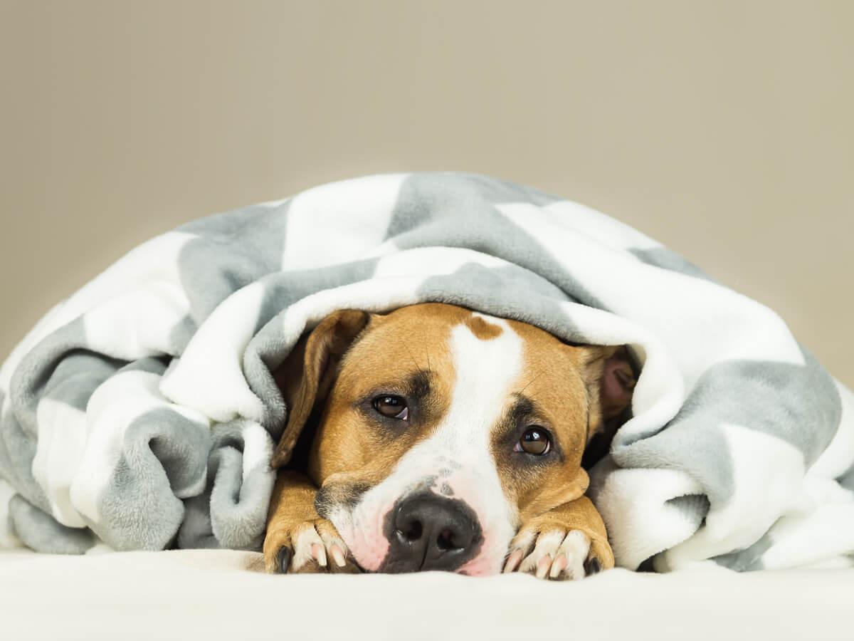 Fiebre en perros bajo mantas.
