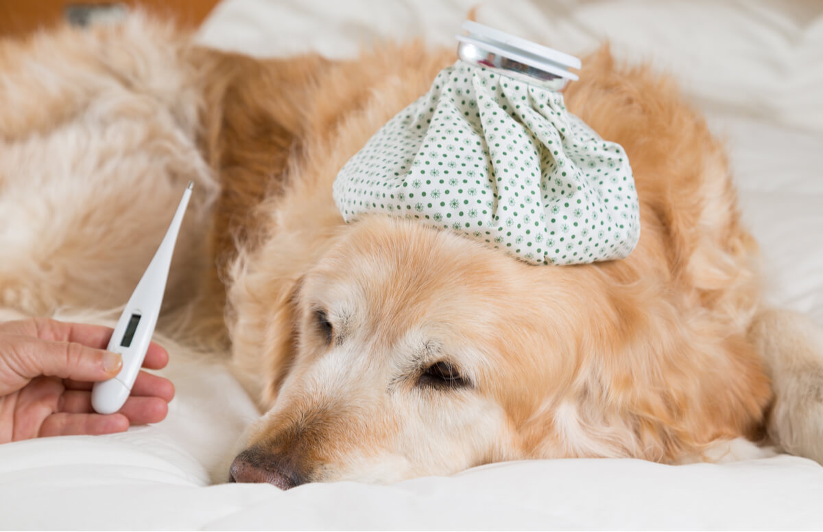 Un perro con fiebre.