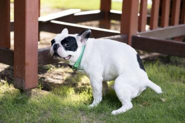 Remedios naturales para tratar la colitis en perros