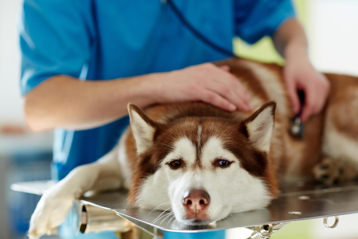 Un husky dal veterinario.