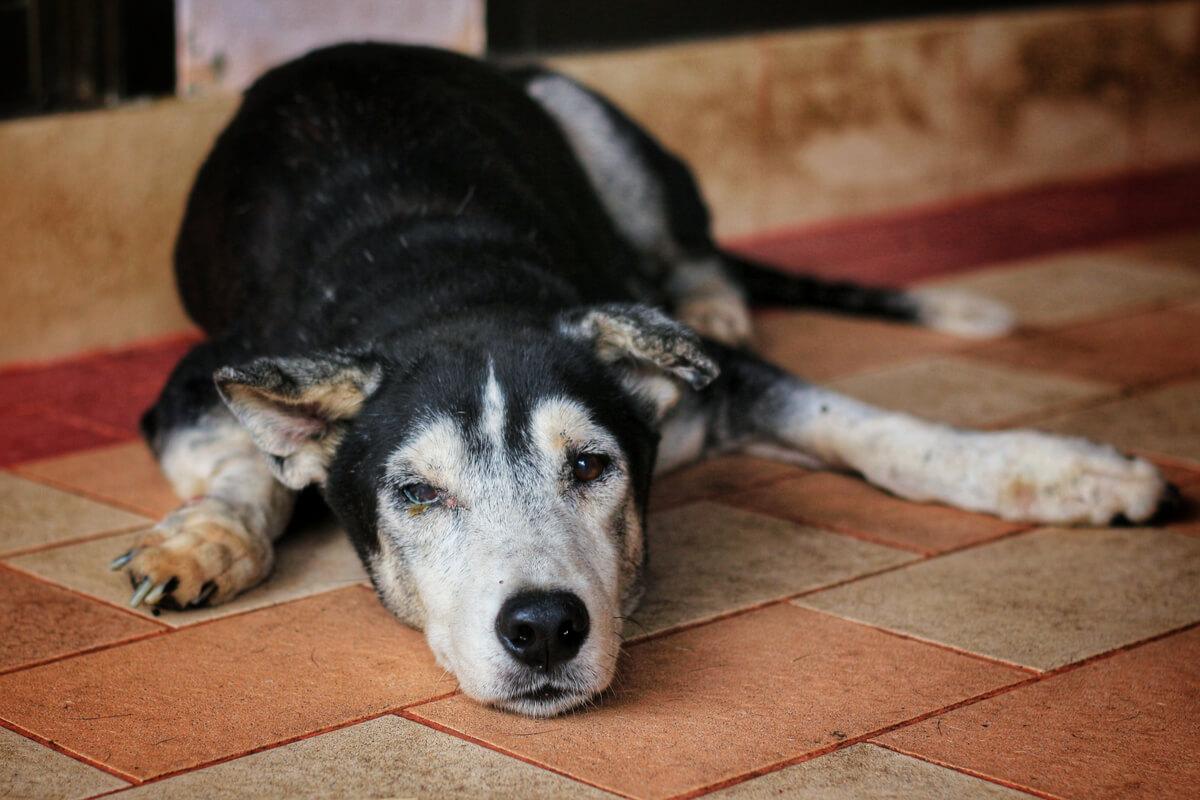 Un perro mayor tumbado.