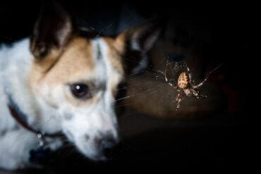 Síntomas de picaduras venenosas en perros