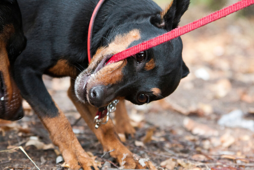 ¿Qué hacer si tu perro muerde la correa?