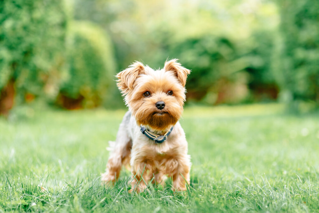 Cuatro padecimientos comunes en razas de perros pequeños
