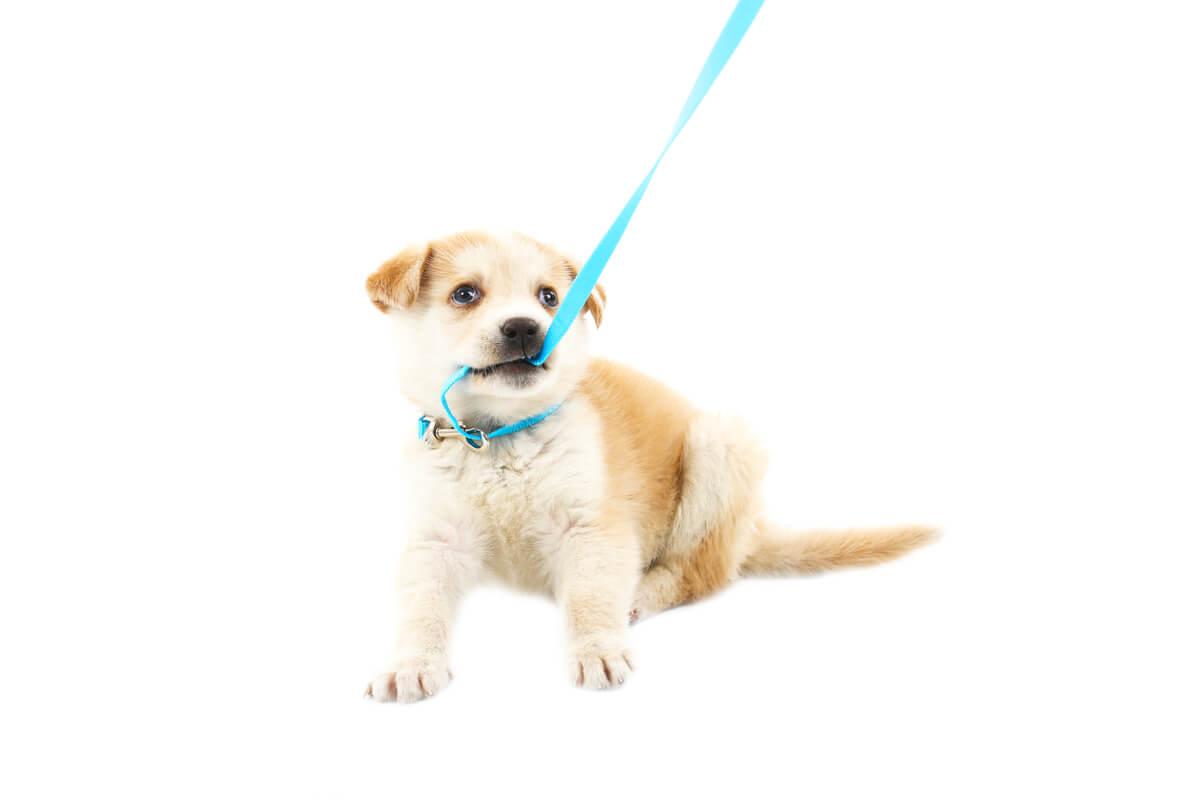 Un perro pequeño muerde su correa.