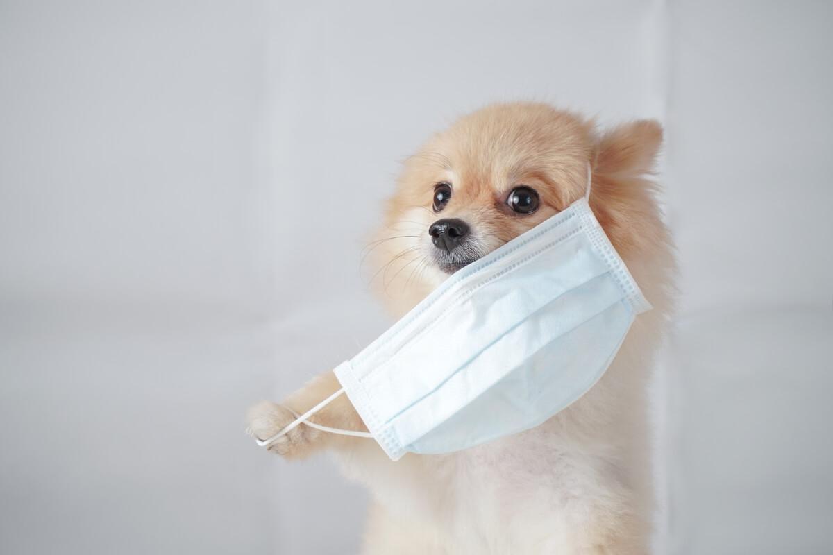 Un perro pomeranian con mascarilla.