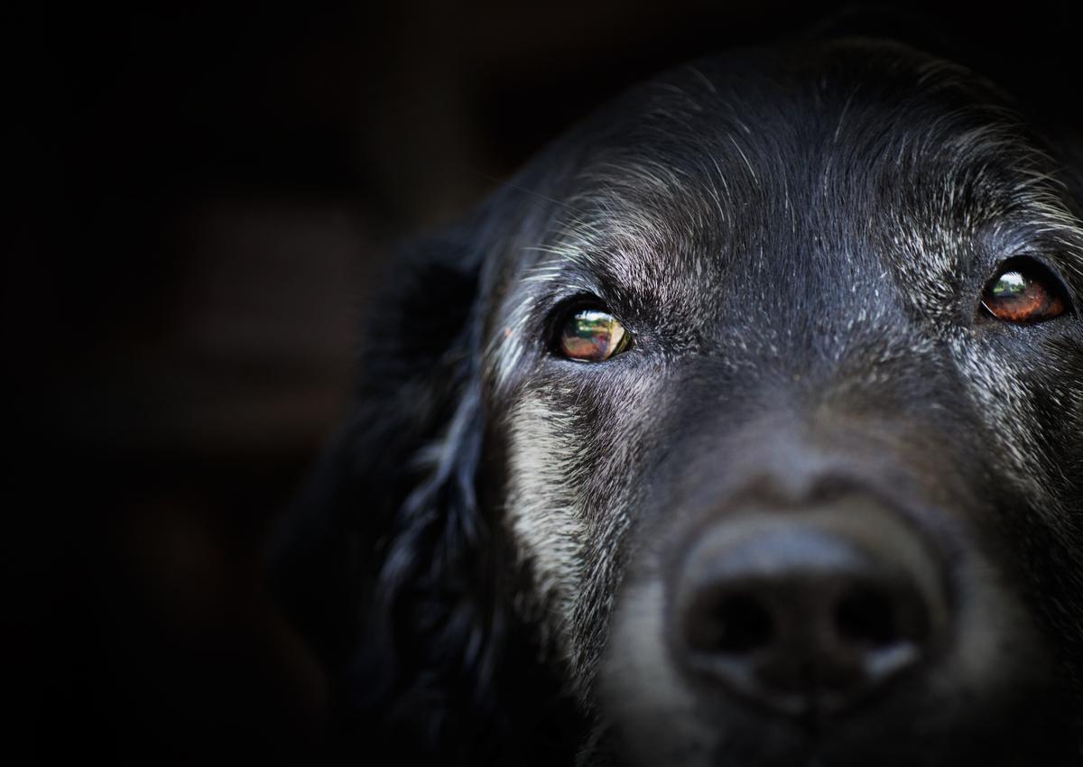 Demencia senil en perros: ¿qué dice la ciencia?