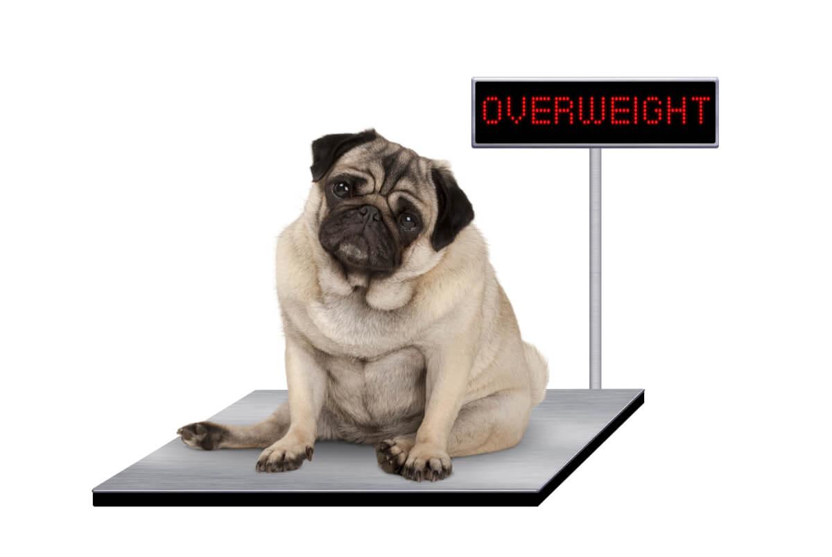 Un chien en surpoids sur une balance.