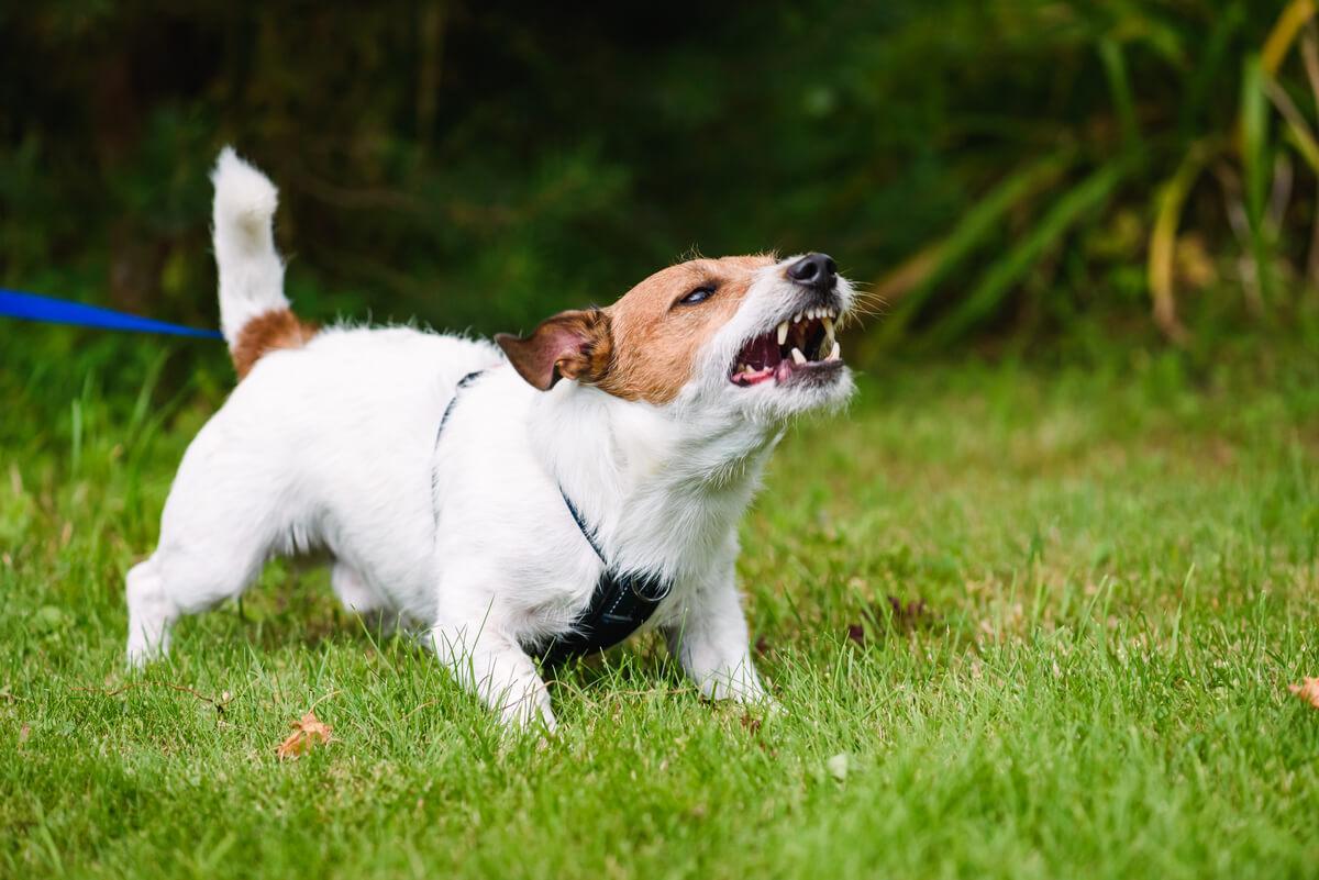 Un perro territorial que gruñe.