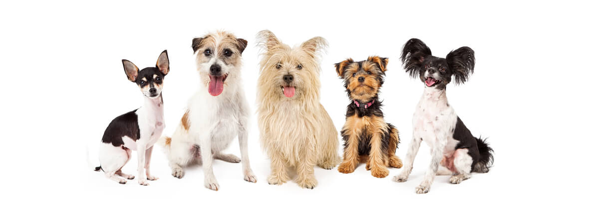Razas de perros pequeños.