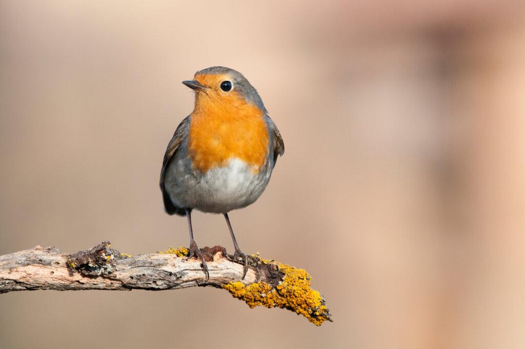 8 pájaros que cantan por la noche