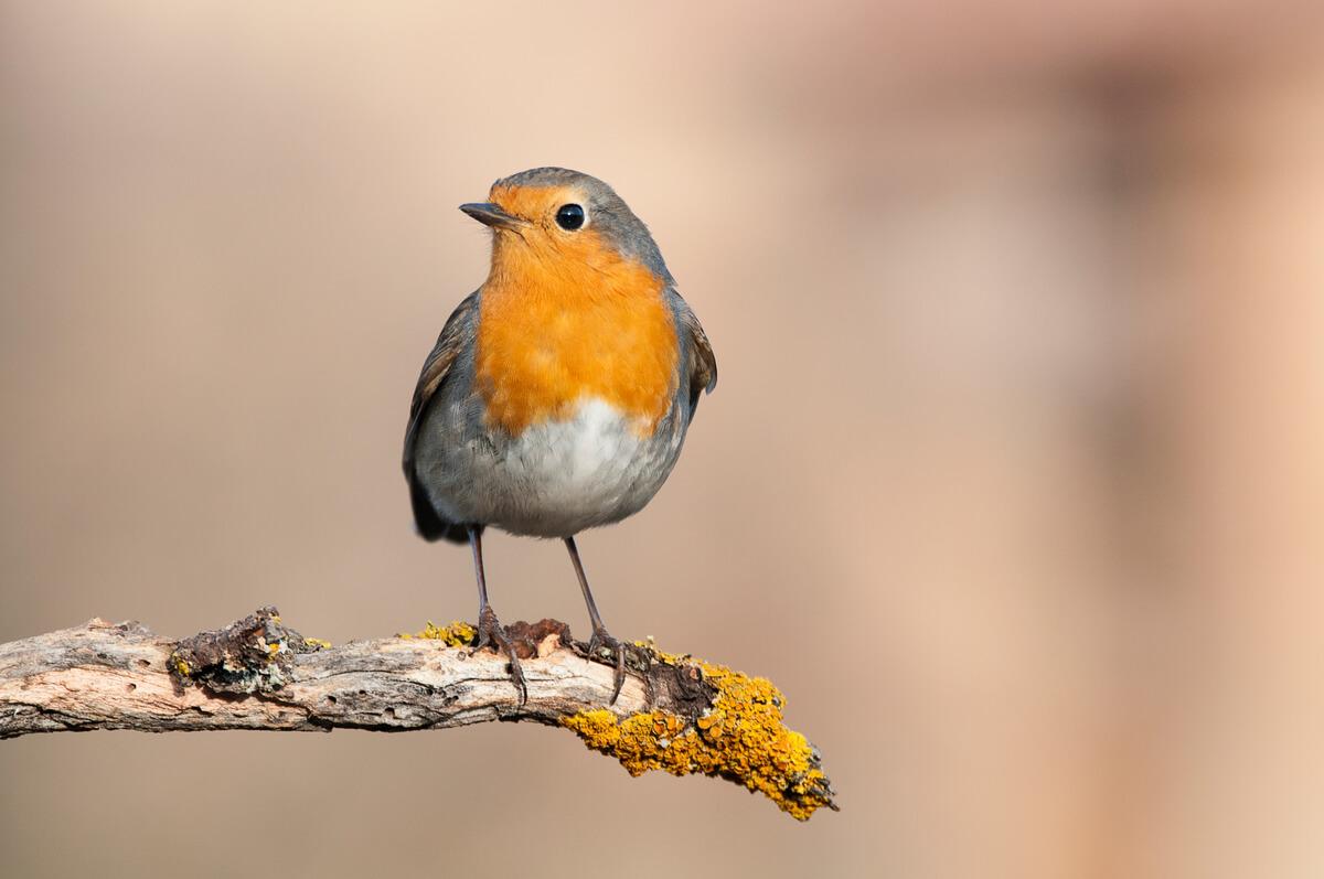 El petirrojo es otra de las aves que migran en otoño.