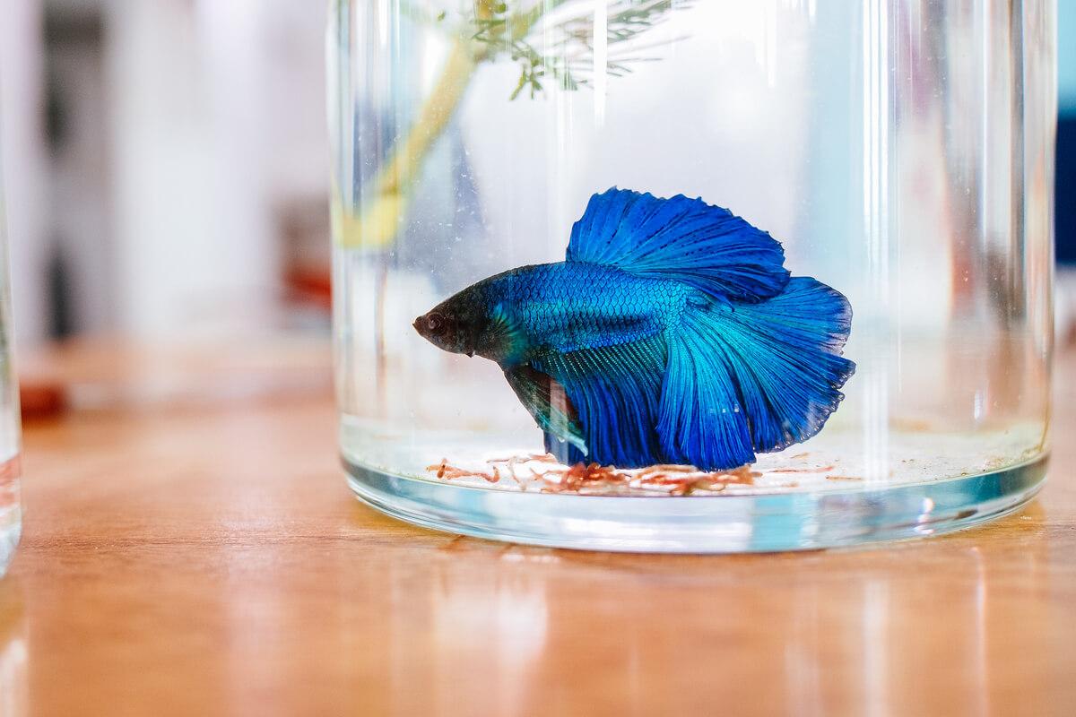 Un pez betta en un jarrón.